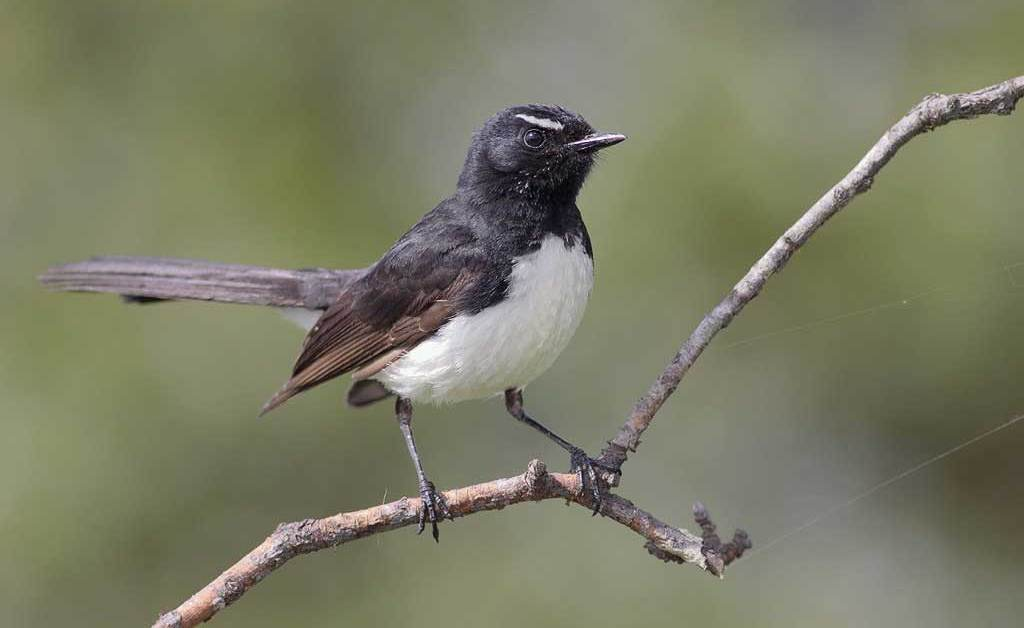 Willie Wagtail – Profile   Traits   Facts   Habitat   Breeding