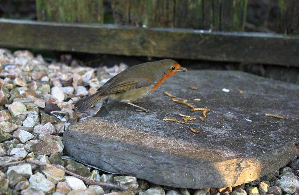 35 Essential Tips on How to Feed Mealworms to Birds
