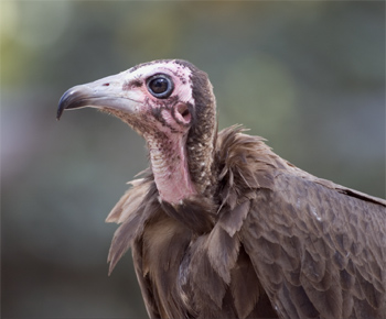 Gambia, hooded vulture