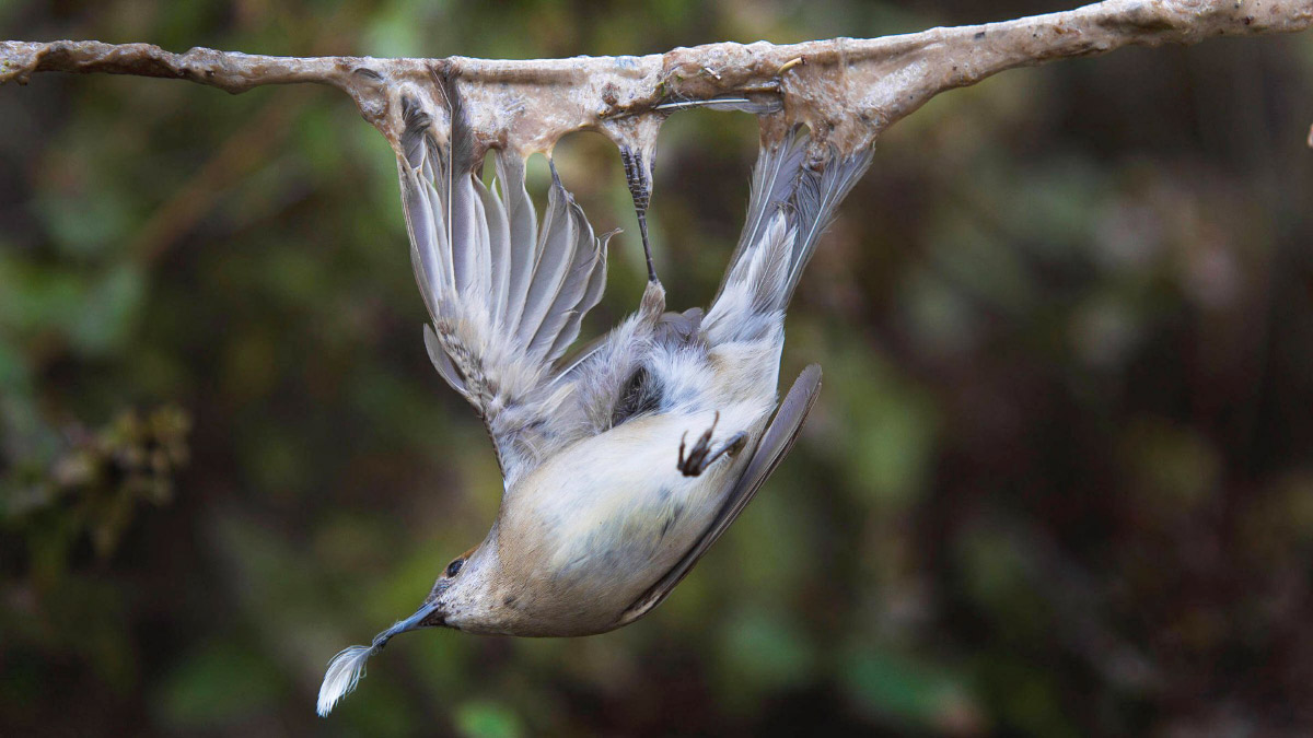 POLL: Should hunting birds with glue traps be banned?