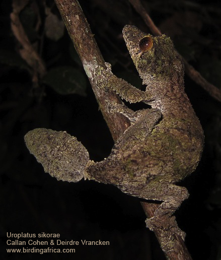 A leaf-tailed gecko, Uroplatus sikorae. We found two of these during our night walk in the rainforest at Andasibe