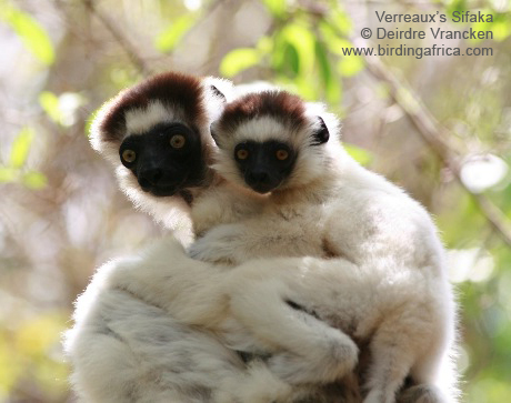 Verreaux's Sifaka and baby around our accommodation at Berenty.