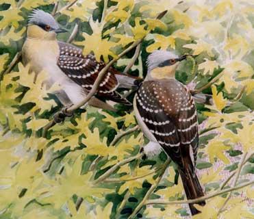 Great Spotted Cuckoos, Clamator glandarius