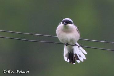 Lesser Grey Shrike, Lanius minor.