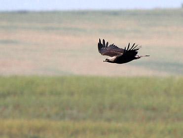 Aguila imperial oriental, Aquila heliaca.
