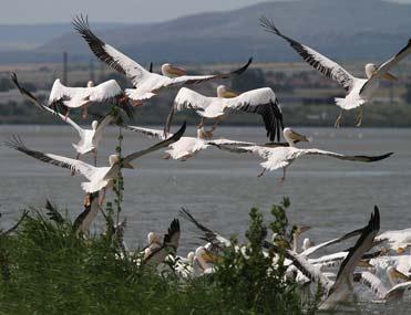 Pelícanos comunes en los lagos de Burgas
