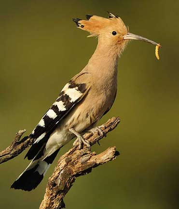 Hoopoe, Upupa epops. from the Hoopoe hide.
