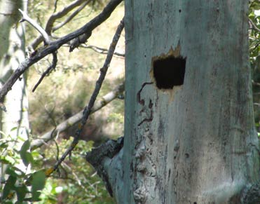 Black Woodpecker nest hole in Spain