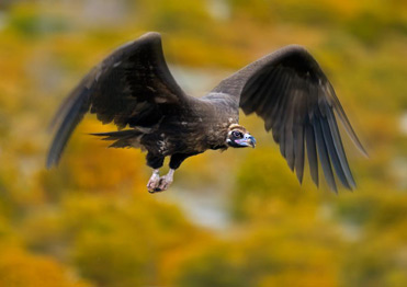 Black Vulture in flight by Jan Pedersen.