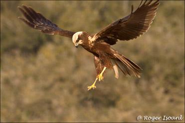 Marsh Harrier, Circus aeruginosus.