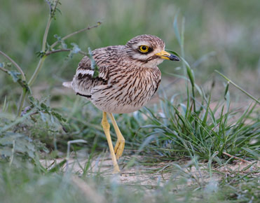 Stone Curlew, Burhinus oedicnemus, on the Lleida plains.