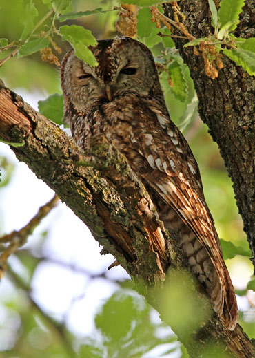 Tawny Owl in tree in Catalonia.