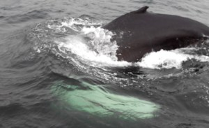 iceland-whale-2