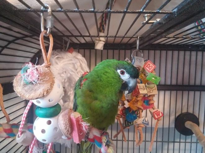 Kilo Hahn's Macaw