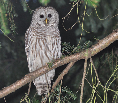 Owls Vocalizing In Fall Birdnote