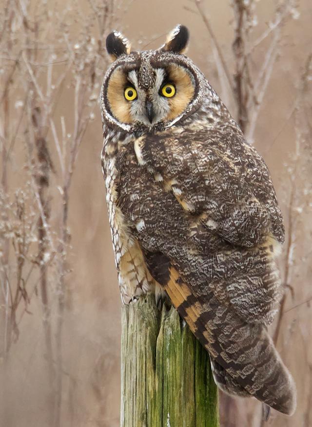 Long Eared Owl Birdnote