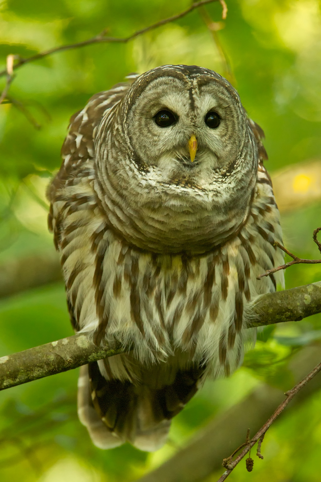 Barred Owl Perched 3 3 Birdnote