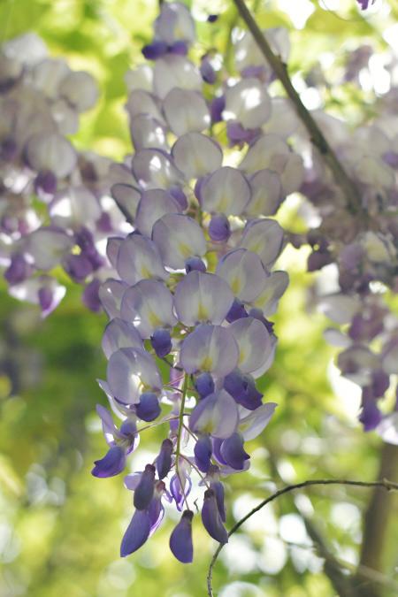 Glycine en fleurs - blog lifestyle et photos