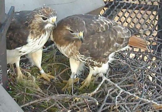 From the Cornell Lab  Gorgeous Red tailed Hawk Nest Cam   Birds and     Red tailed Hawks at live streaming camera via Cornell Lab of Ornithology