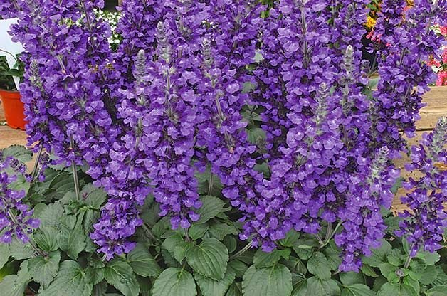 Top 10 Purple Plants for Your Flower Garden   Birds and Blooms Top 10 Purple Plants for Your Flower Garden
