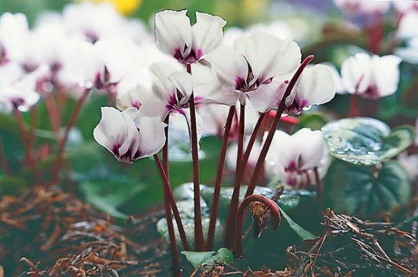 Top 10 Winter Bloomers For Your Flower Garden   Birds and Blooms Cyclamen