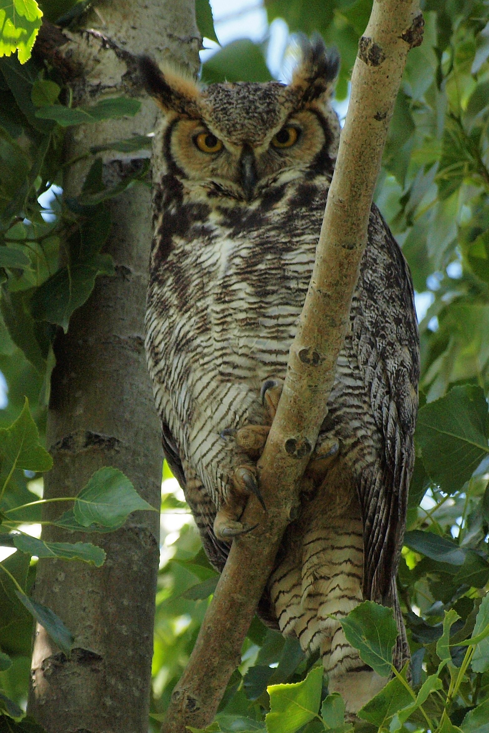 Great Horned Owl Birds And Blooms