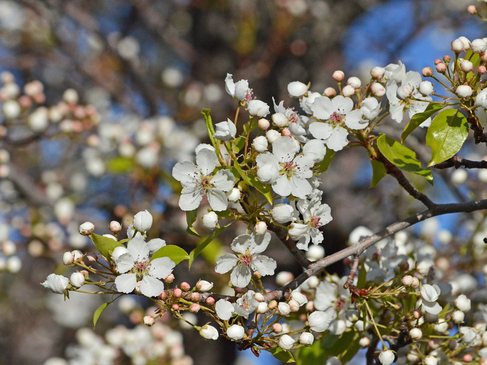 Blossoms Of The Bradford Pear Tree Birds And Blooms