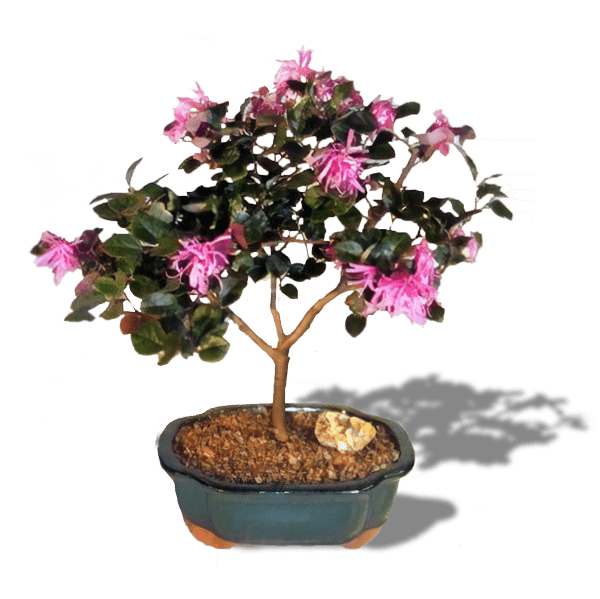 Flowering Bonsai Tree - Chinese Fringe