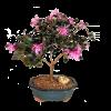 Flowering Bonsai Tree - Chinese Fringe