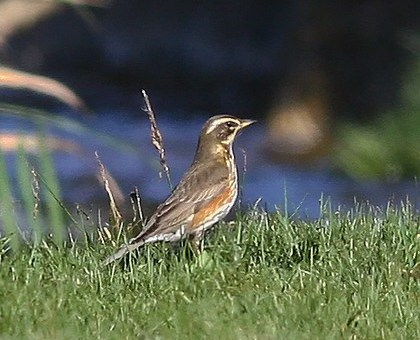 Redwing perching on the ground