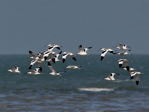 Pied Avocet flock in flight