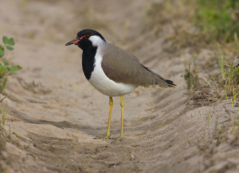 Red Wattled Lapwing on ground