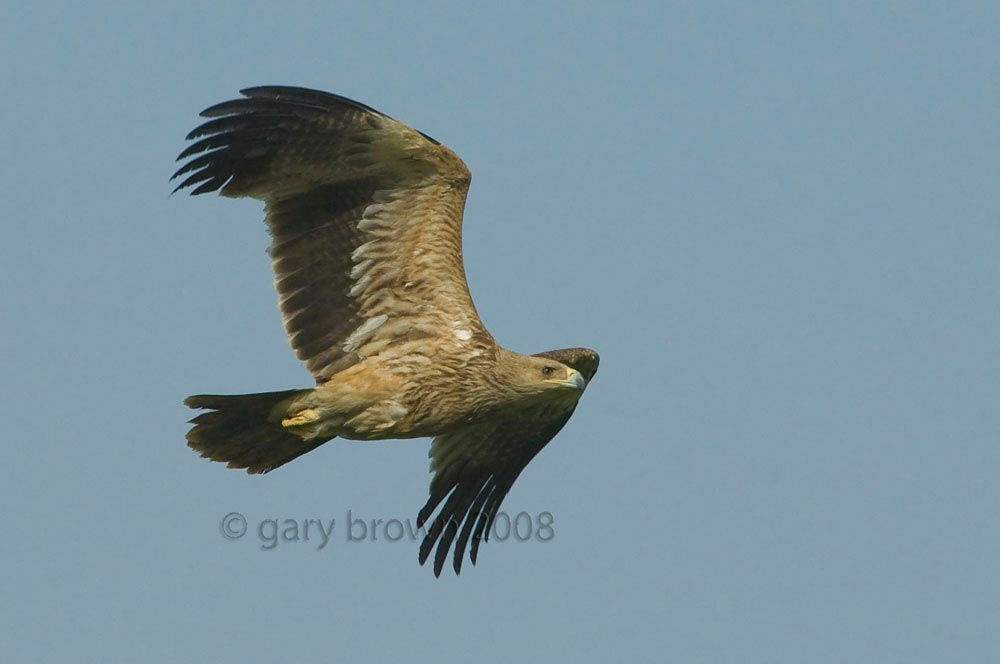 A Eastern Imperial Eagle in flight