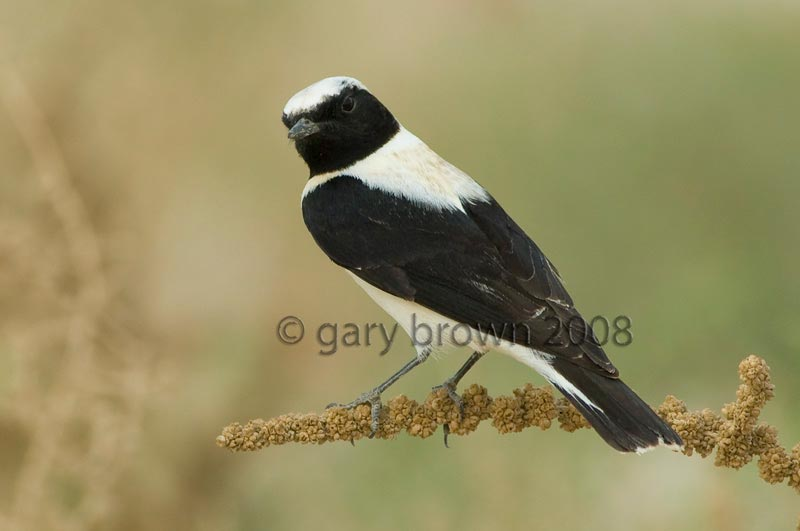 Eastern Black-eared Wheatear Oenanthe melanoleuca on a branch