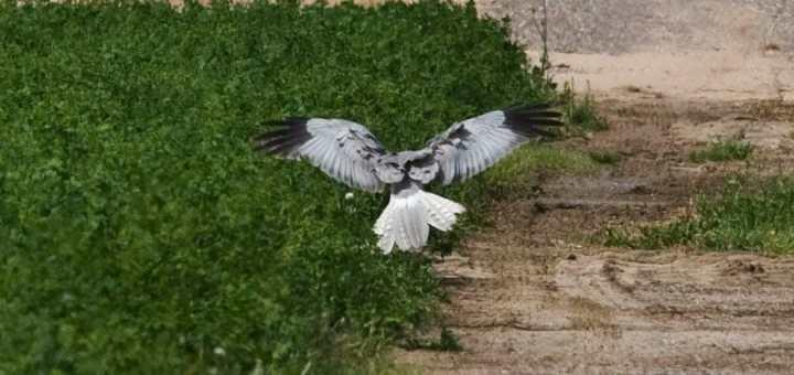 Hen Harrier Circus cyaneus landing on the ground