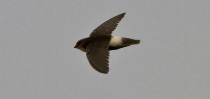 Little Swift Apus affinis in flight