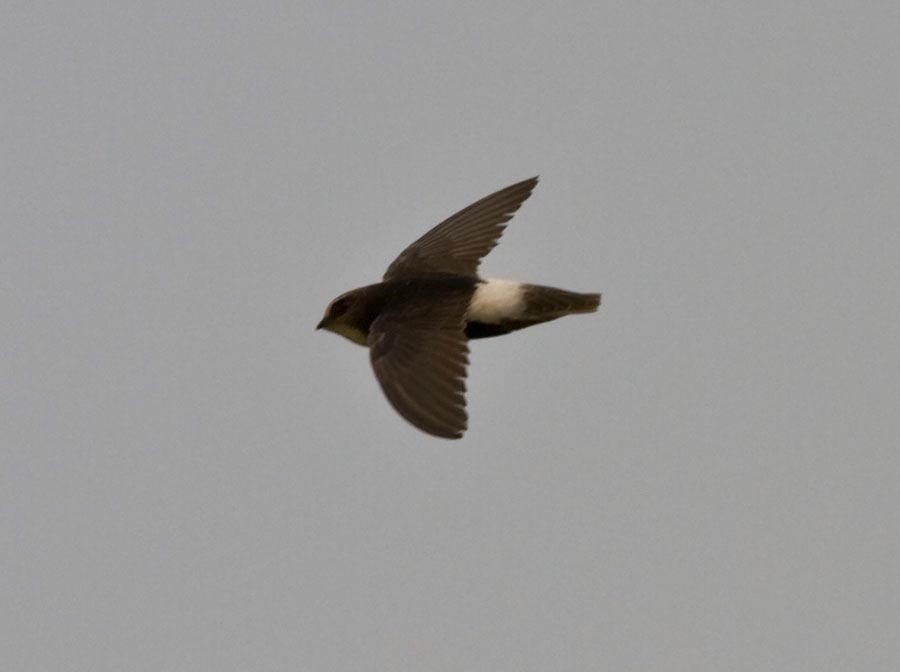 Little Swift Apus affinis in flight