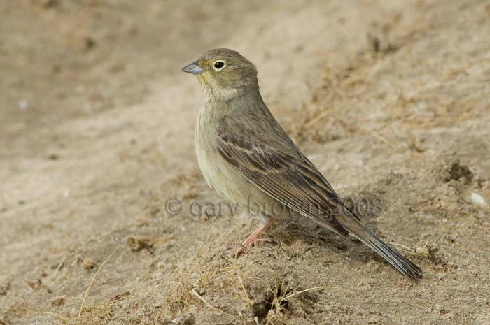 Cinereous Bunting Emberiza (cineracea) semenowi on ground