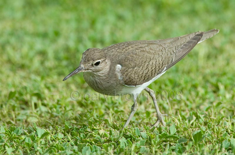 Common Sandpiper Actitis hypoleucos running on grass
