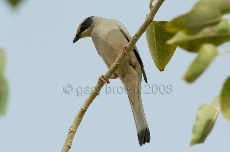 male Hypocolius Hypocolius ampelinus looking down froma branch
