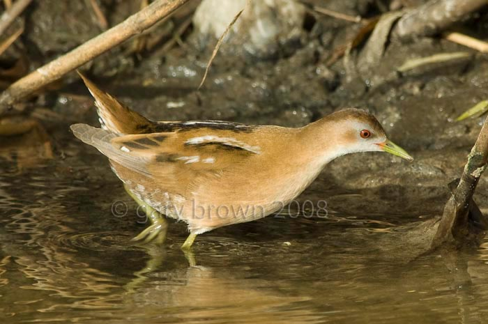 Little Crake Zapornia parva wading in water