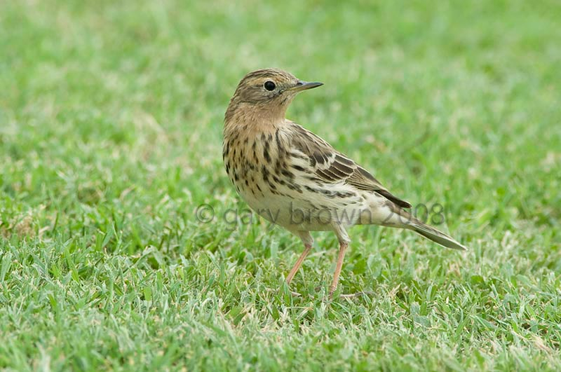 Red-throated Pipit Anthus cervinus on grass