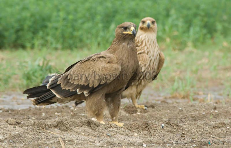 Steppe Eagle Aquila nipalensis and Eastern Imperial Eagle Aquila heliaca standing side by side