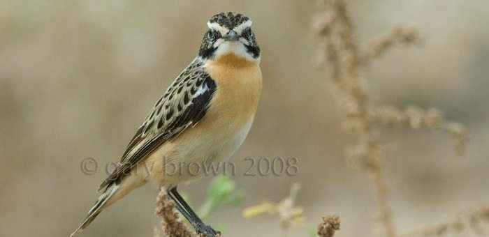 Whinchat on a branch