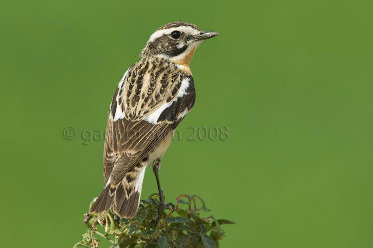 Whinchat Saxicola rubetra looking over its back