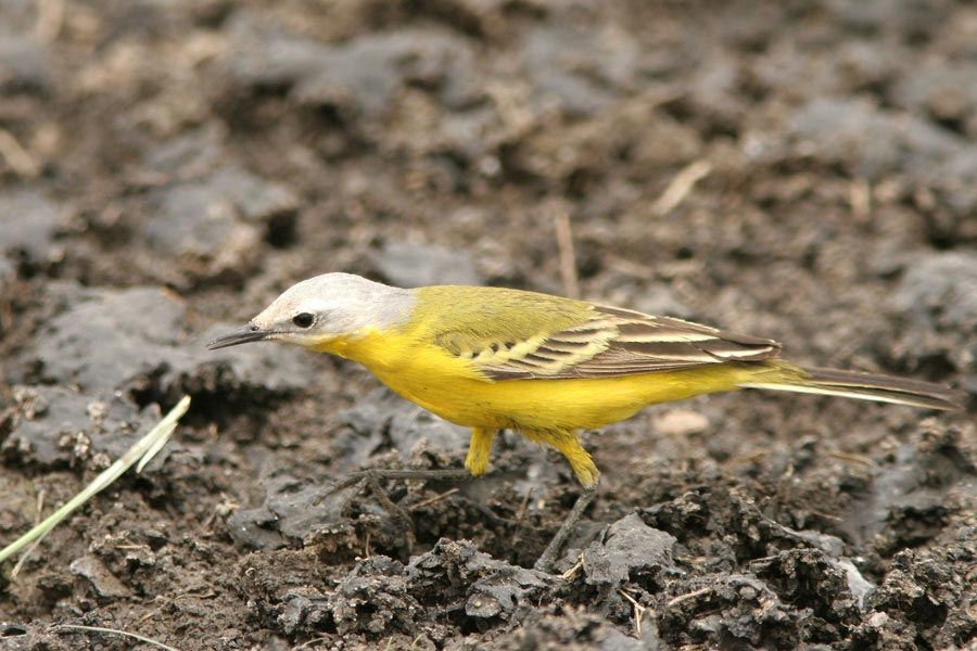 White-headed Wagtail Motacilla (flava) leucocephala on ground