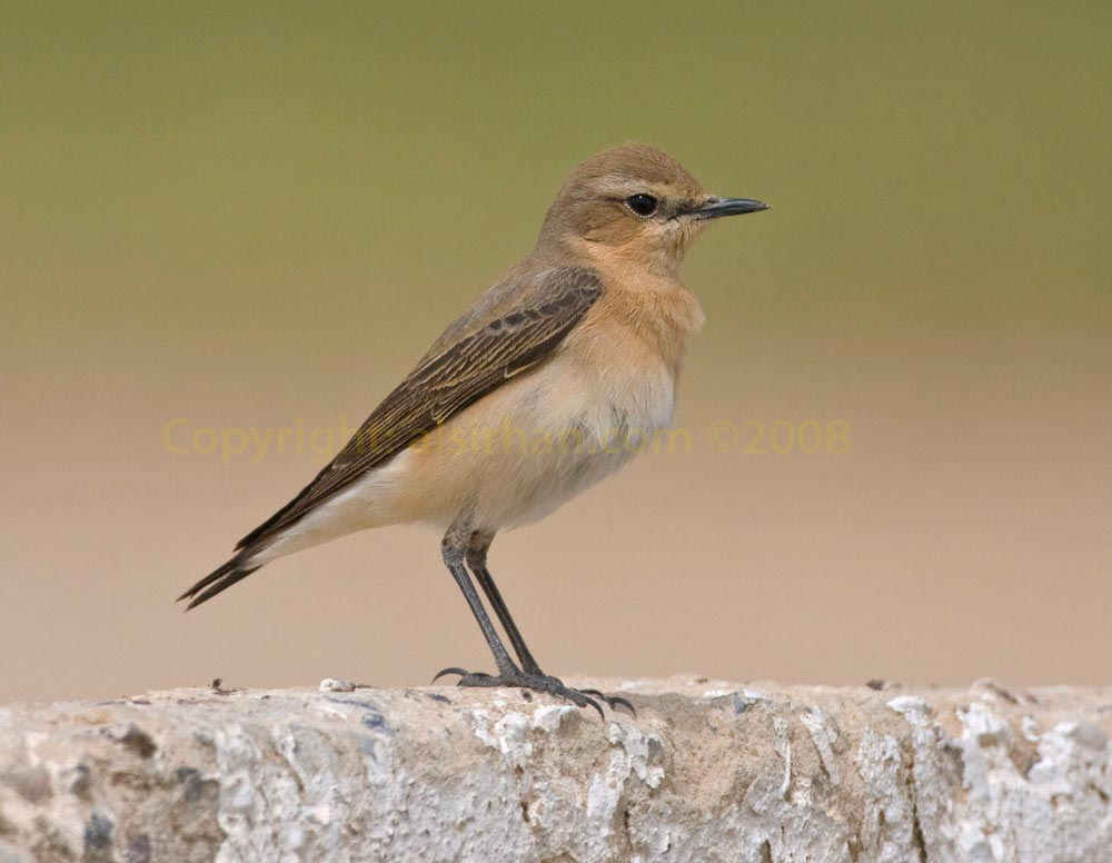 Northern Wheatear Oenanthe oenanthe on a rock