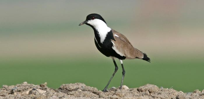 Spur-winged Lapwing perched on a heap of sand
