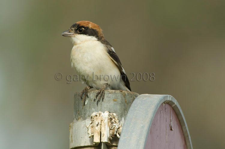 Woodchat Shrike Lanius senator on sign post
