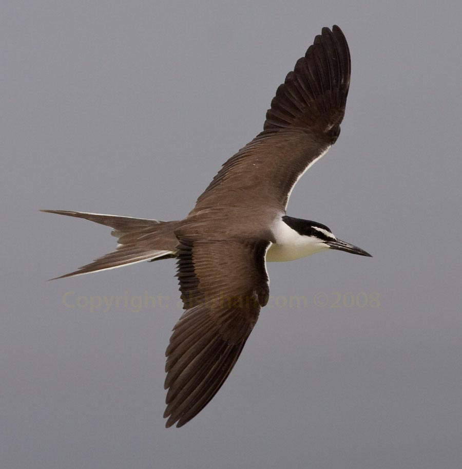 Bridled Tern Onychoprion anaethetus in flight showing spread wings upperparts
